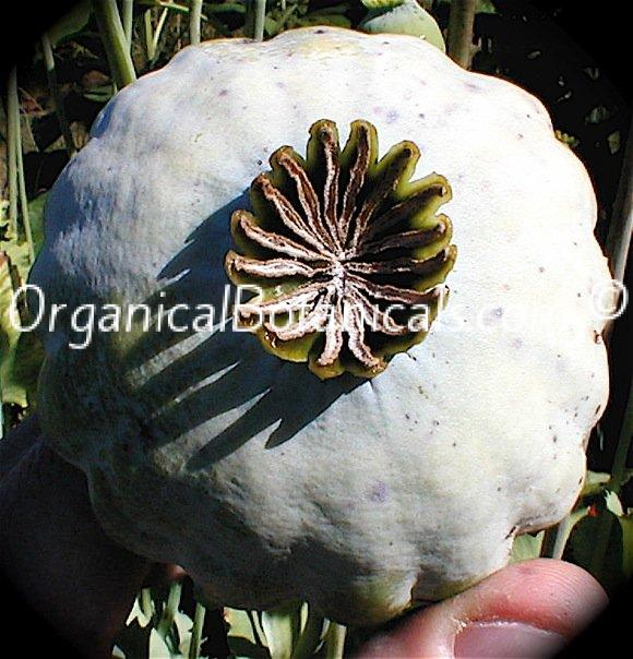 Jumbo Turkish Oval Papaver Somniferum Poppy Seeds